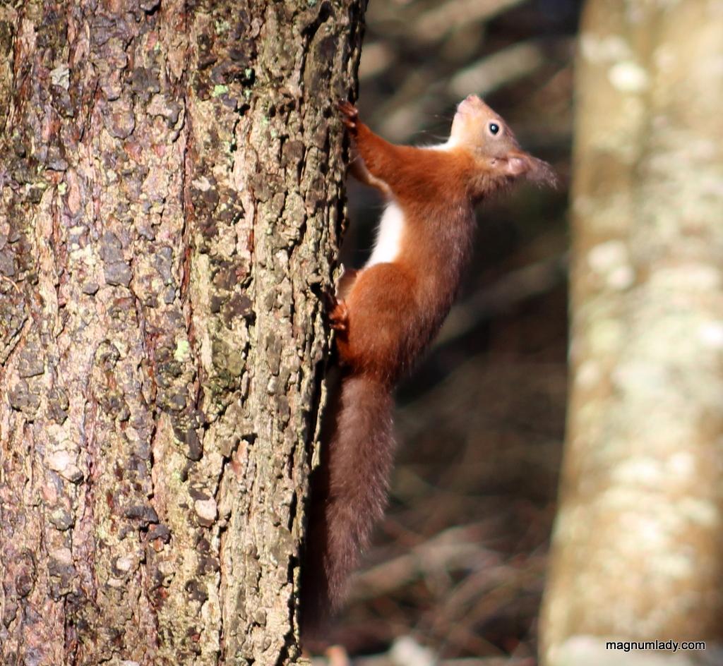 Red squirrel at Dooney Rock, Sligo