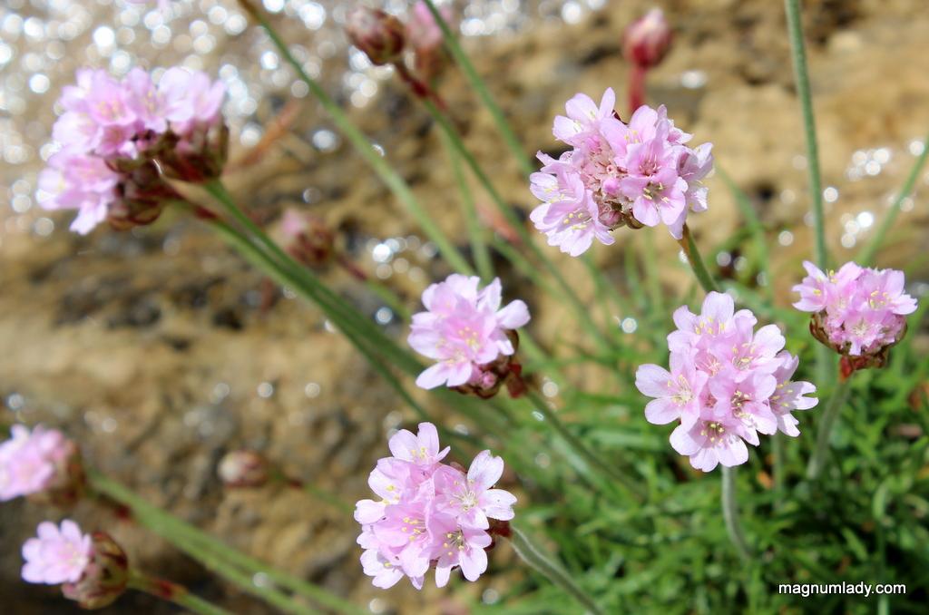sea pink flower